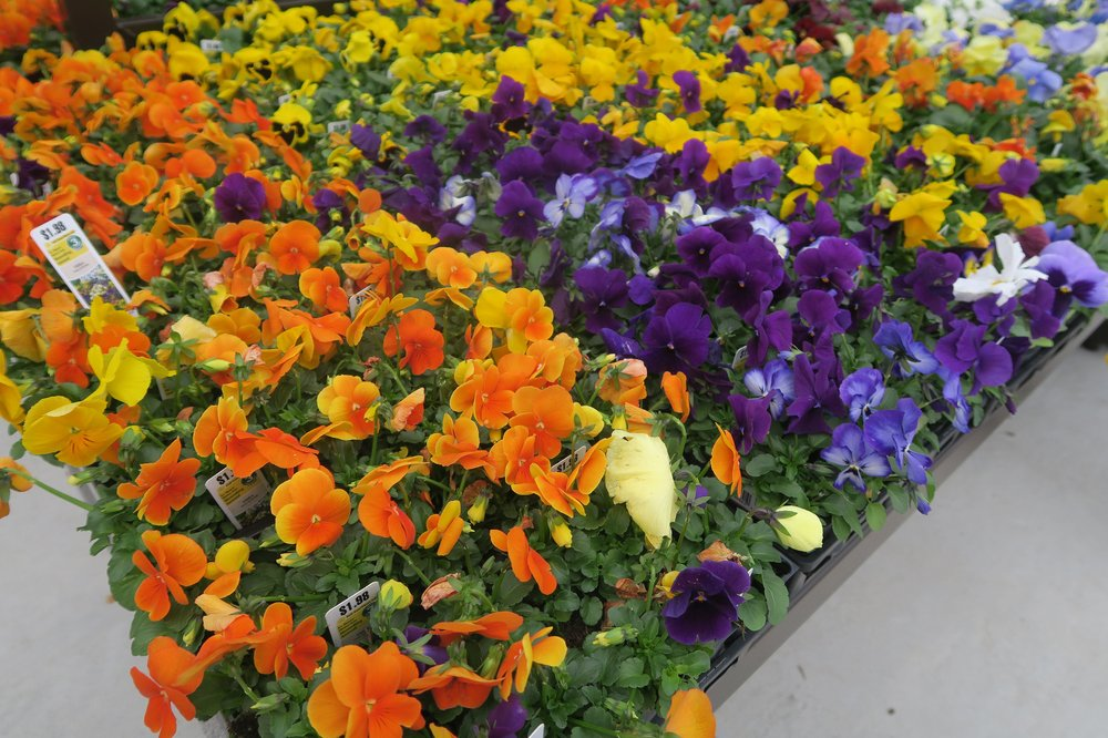 The key to successful pansies is to buy good-quality plants once it cools off, plant them in well amended soil and fertilize periodically throughout the winter. (Special to the Democrat-Gazette/Janet B. Carson)