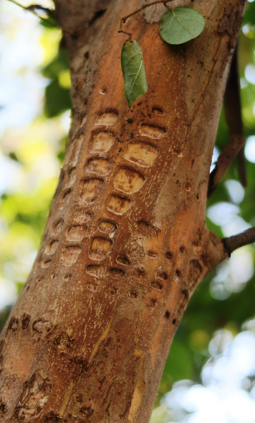 Sapsuckers leave this sort of damage on trunks. (Special to the Democrat-Gazette/Janet B. Carson)
