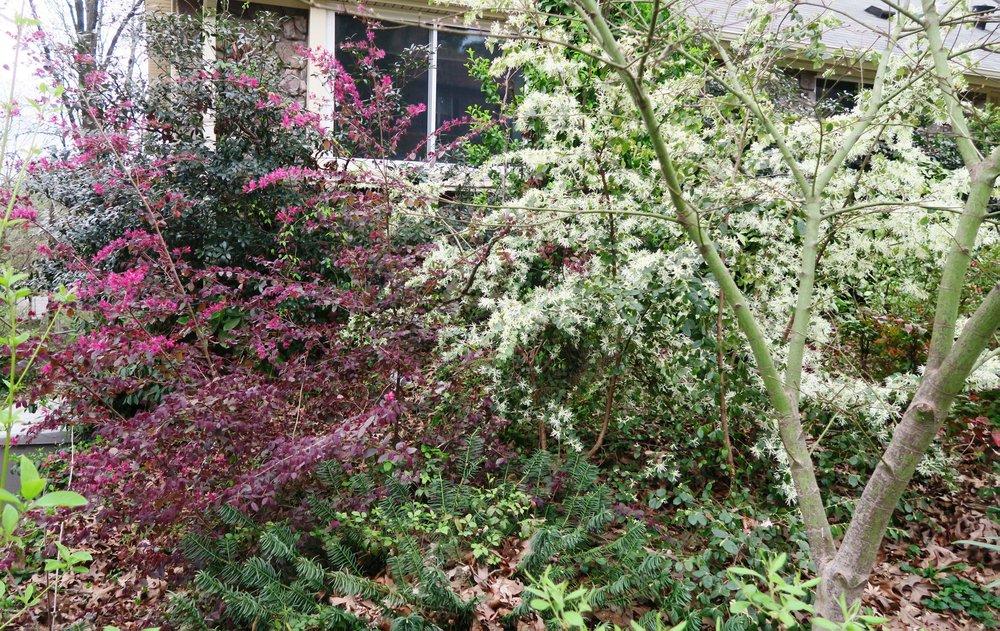 Loropetalum is one shrub that comes in varieties having reddish foliage all year. (Special to the Democrat-Gazette/Janet B. Carson)