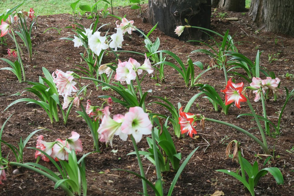 Amaryllis can be transplanted when they are actively growing, but it will affect blooming. (Special to the Democrat-Gazette/Janet B. Carson)