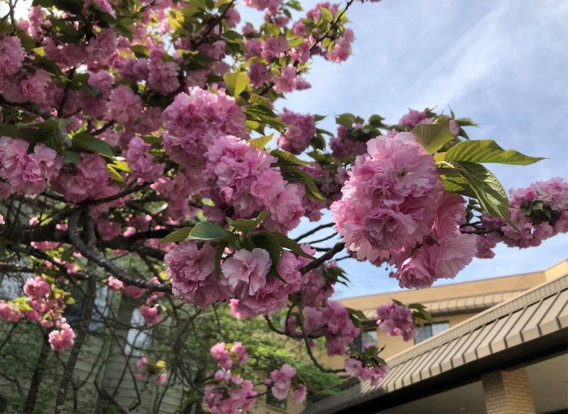 In The Garden Flowering Cherry Trees Handling Troublesome Scale